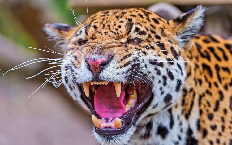 Jaguar denti viso Rabbia