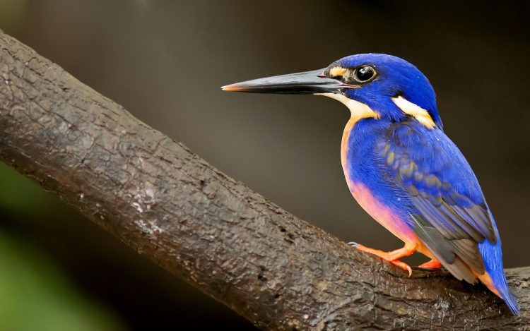 Kingfisher uccello becco